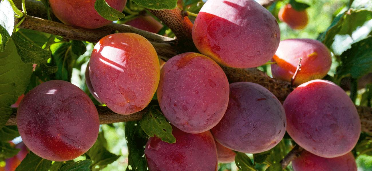 Plommedrikk med ingefær